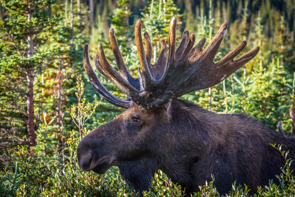 Elg og Bjørn i Nordamerika